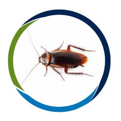 cucarachas, control de plagas, fumigación, plaga de cucarachas, cucaracha plaga