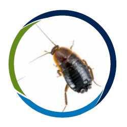 cucarachas, plaga de cucarachas, cucaracha plaga, cucaracha oriental