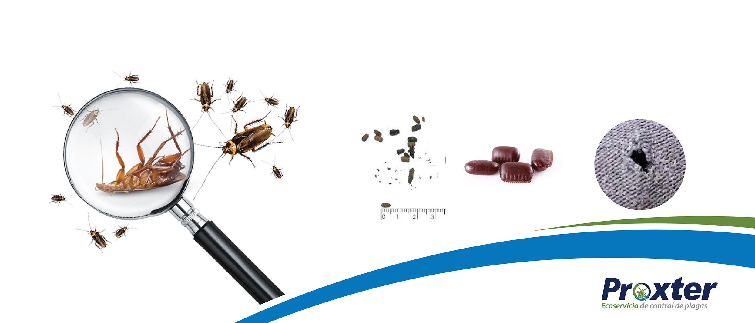 Como identificar plaga de cucarachas